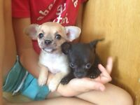 Chihuahua pups! One left! Ready now!