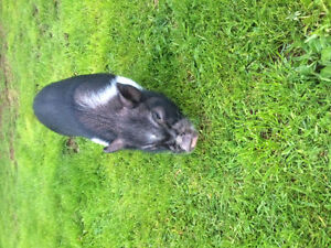 Looking for female potbelly pig/piglet