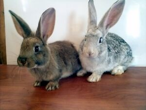 pure bred FLEMISH GIANT baby rabbits ready Aug. 1st