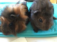 Baby guineapigs