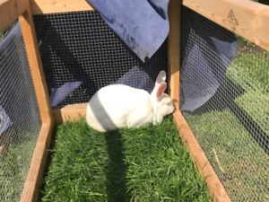 New Zealand White Doe, Meat Rabbit