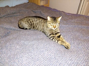 "Missing ""Keyda"" the Tabby $500.00 Reward"