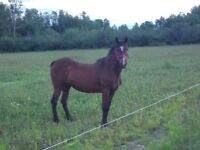 17 year old mare quarter horse