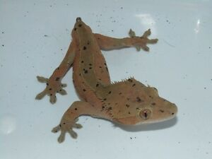 Adult male crested gecko