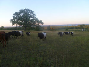 Belted Galloway Cow Calf Pairs