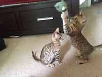 Beautiful purebred Bengal kittens now available!!