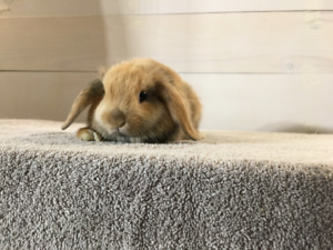 Purebred Holland Lop Rabbits