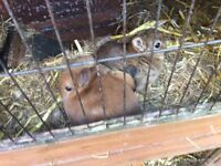 Netherland Dwarf Rabbit MALE