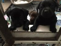 Black Labrador puppies bitch