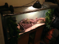 Ball python with complete set up