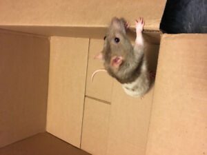 Pet rats for rehoming
