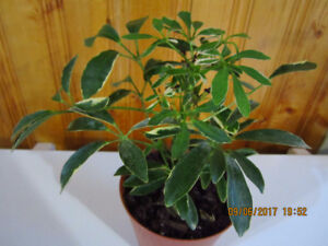 "Schefflera Umbrella  ""Moon Drop"" Plant"
