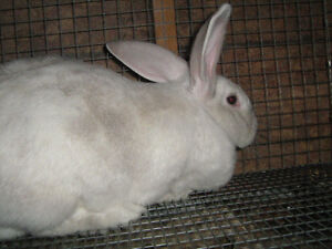 FLEMISH GIANT DOES [ YOUNG ]