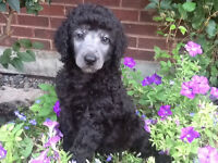 STUNNING LITTER OF STANDARD POODLE PUPPIES.