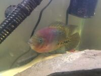 Tropical fish for sale - redhead. Offers