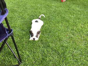 Old-English Bulldog puppies for sale