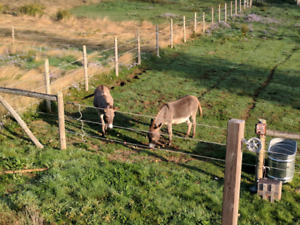 Two miniature donkeys - George and Arthur