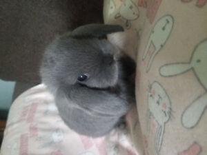 Purebred Holland lop bunnies!