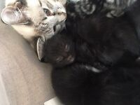 5 kittens for sale ( mum is rag doll )