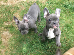 BLUE FRENCH BULLDOG BABYS FOR SALE