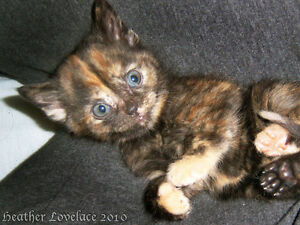 In Search Of - 8 - 10 week old Tortie kitten