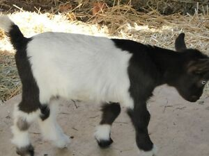Purebred Fainting Goats,  feeder, shelter etc  available as well