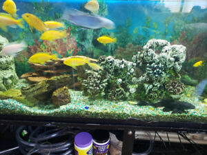 150 gallon freshwater tank and stand, Cichlid  and accessories