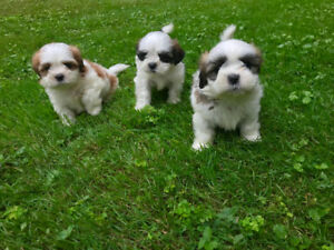Shih Tzu Puppies - Ready to go now!