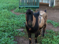 Goat-Looking for a new herd
