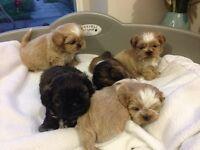 Beautiful Shih-Tzu Puppies!