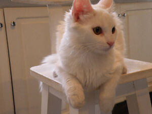 White cat / Chatte blanche