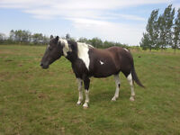beautiful papered apha broodmare/pack horse for sale