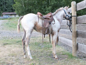 """2013 ApHcc filly """"Im Mighty Brite Lady"""" Williams Lake Cariboo Area image 7"""
