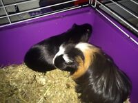 Guinea pigs x2