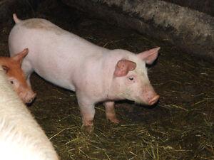 17 NATURAL FED WIENER PIGS