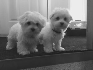 Maltese pups-miniature-ready for new home Edmonton Edmonton Area image 2