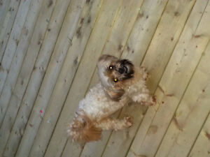We have a male Shih Tzu Lhasa Apso which we want to mate