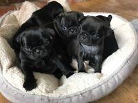 Black Pugs Beautiful litter of 6