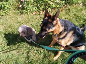 Looking for German Shepherd female $600 to1000max