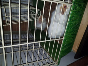 2 gineau pigs plus large cage
