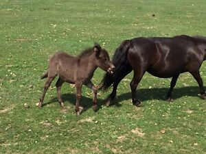 Miniature filly mule