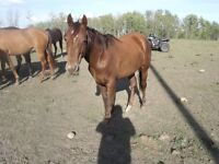 AQHA 2 YEAR OLD CHESTNUT FILLY, Old Tom Cat Bred