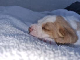 Beagle X