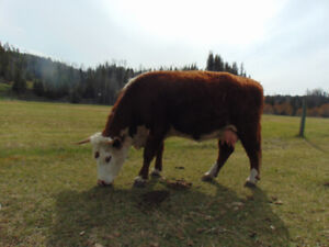 Hereford Cow!
