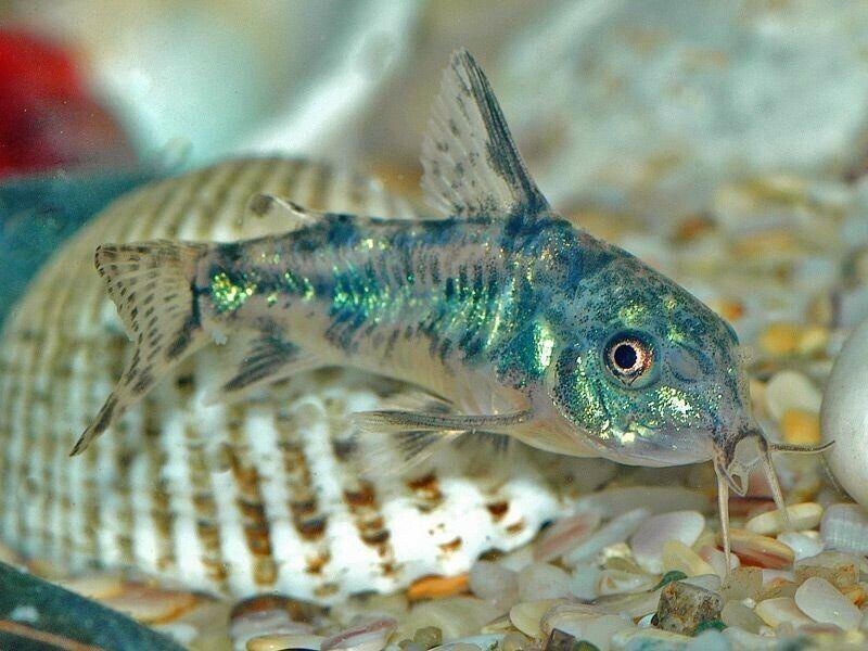 Salt/Peppered Cory Catfish -  (Corydoras paleatus) - Live Freshwater Fish