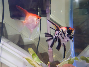 proven pair anglefish and tank set up