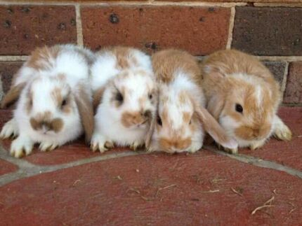 Mini Lop Baby Rabbits - PH