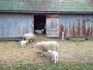 Breeding flock of sheep for sale