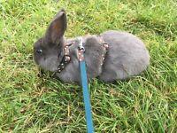 Mini lop Rex rabbit