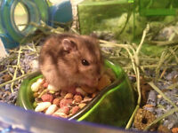 HAMSTER WINTER WHITE A DONNER